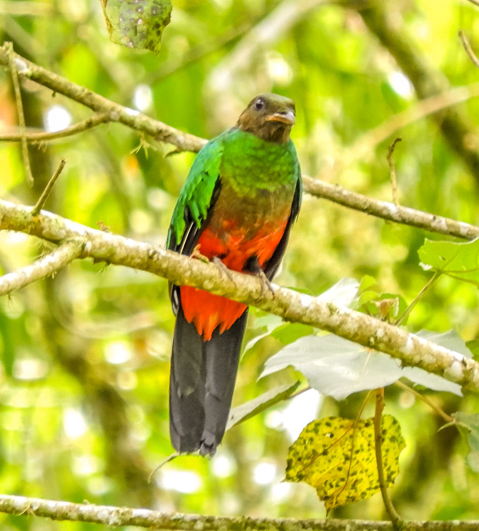 Golden headed quetzal hona (1)