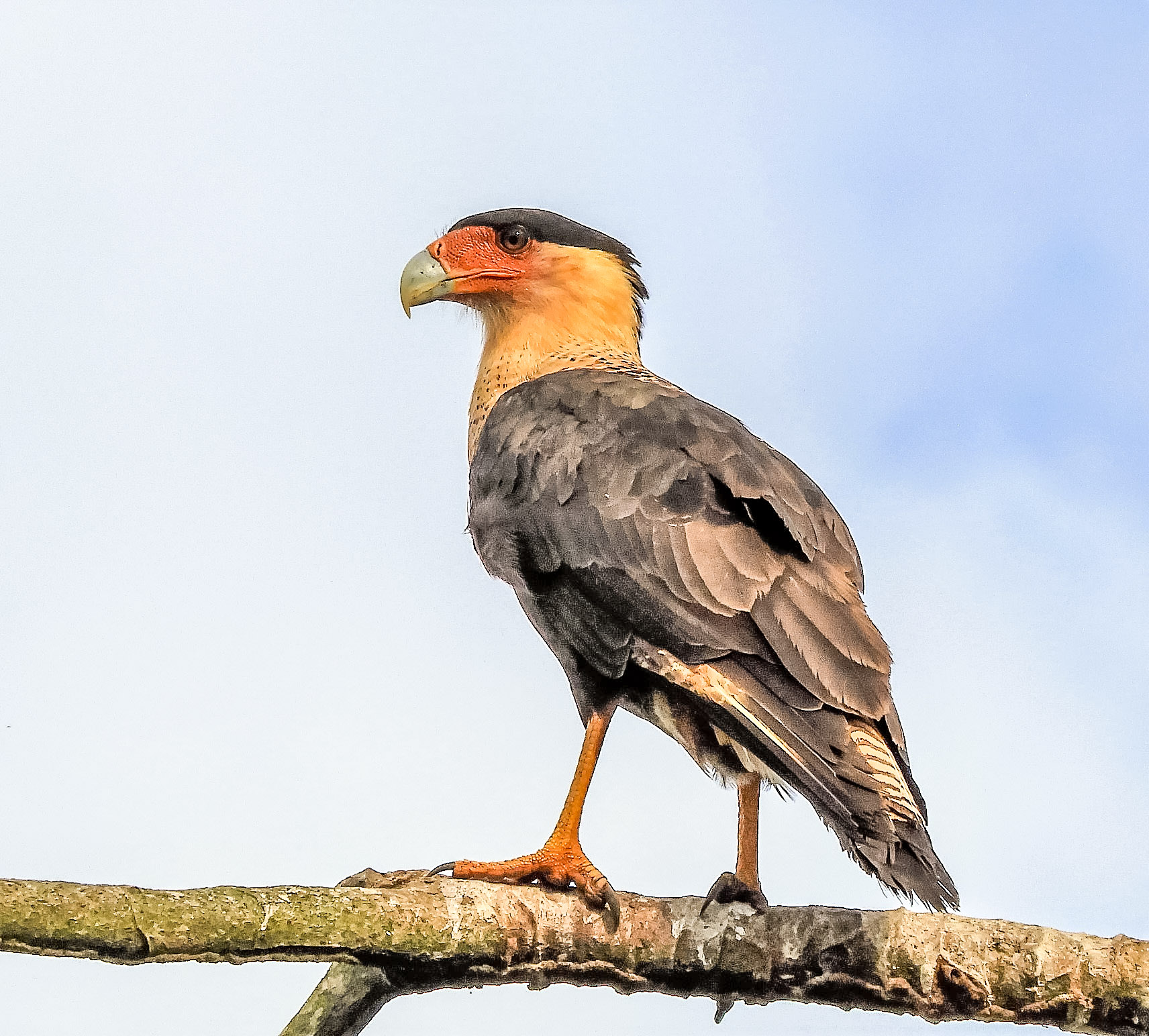 Northen Caracara
