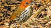 Chestnut crowned antpitta