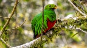 Golden headed quetzal hane (2)