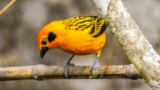 Golden tanager (3)