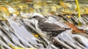 White capped dipper