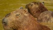 Kapybaras