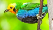 Multi coloured tanager2