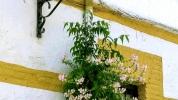 Wallflowers, Grazalema, C·diz Province, AndalucÌa, Spain