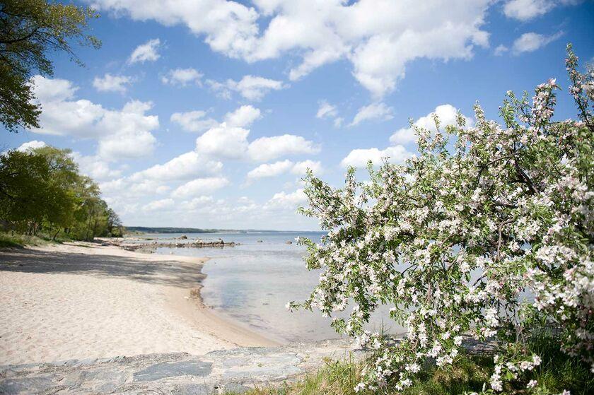 Strand och blommande äppleträd