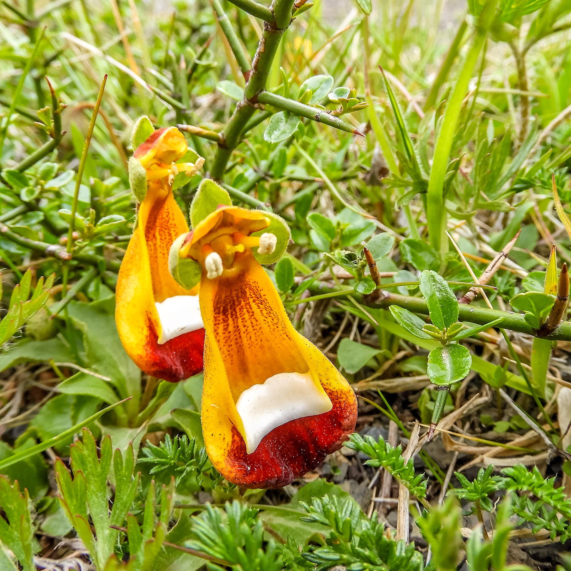 Calcuolara uniflora