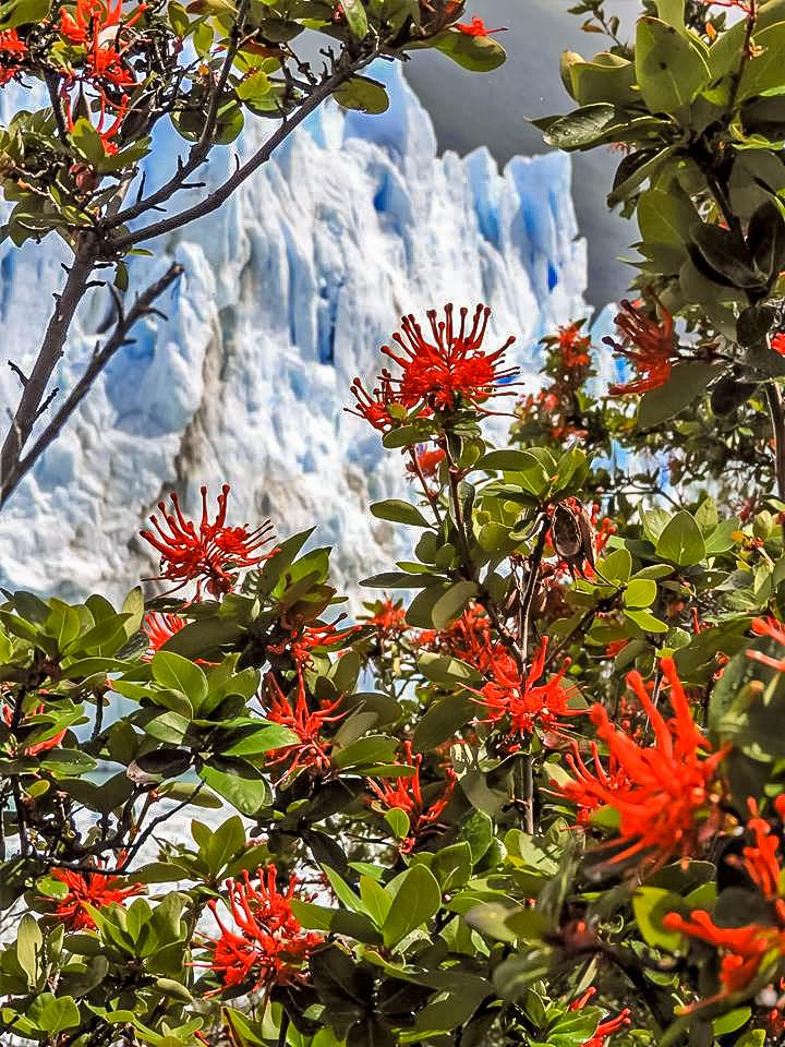 Perito Moreno med firebush