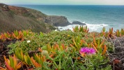 s-cape Rota Vicentina flowers at cliffs-1