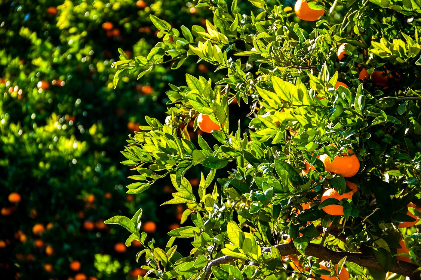Oranges-6